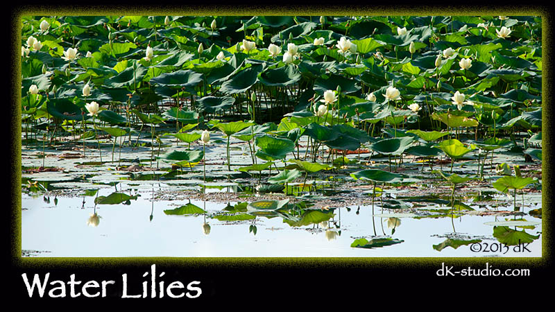 WaterLillies063013-8746